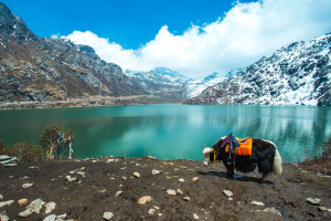 Yak at Tsangmo Lake in Sikkim India.
