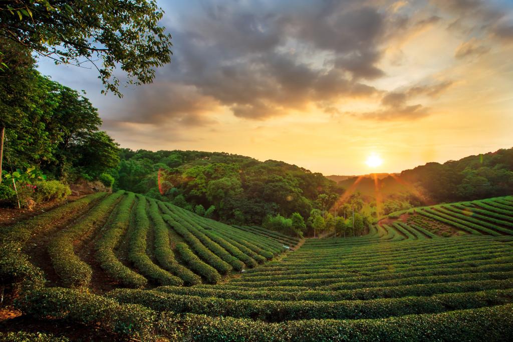 tea plantation landscape sunset for adv or others purpose use